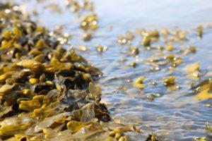 自生している海藻